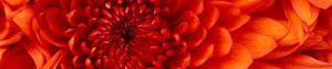 cropped-chrysanthemum.jpg