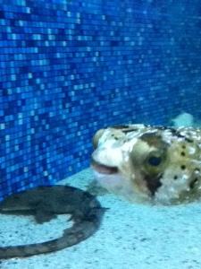 blowfish2