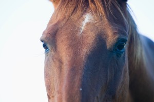 Eyes of Quarter Horse