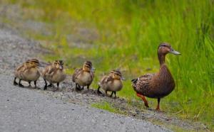 Ducks in a Row Juneau Empire